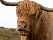 Ani3000-brown-long-haired-cow.jpg