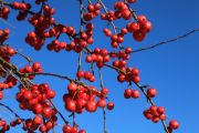 Flo3018-red-blued-berries.jpg
