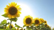 Flo3020-yellow-green-sunflower.jpg